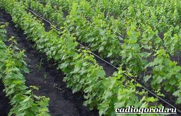 Размножение-винограда-черенками-12
