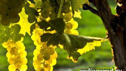 Размножение винограда черенками