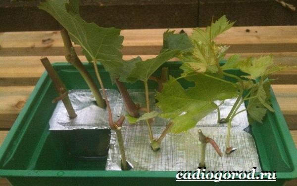 Размножение-винограда-черенками-23