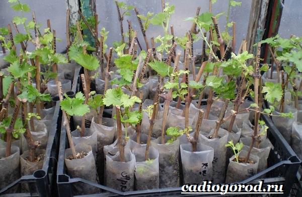 Размножение-винограда-черенками-6