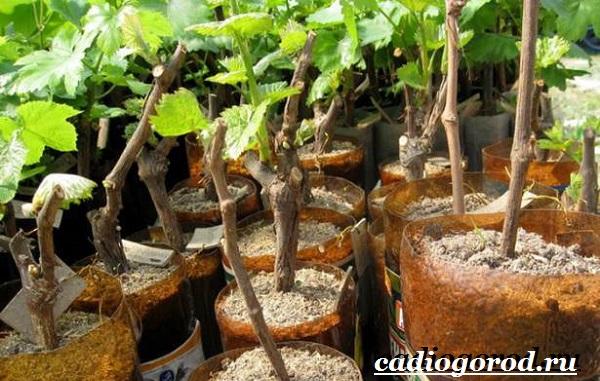 Размножение-винограда-черенками-8