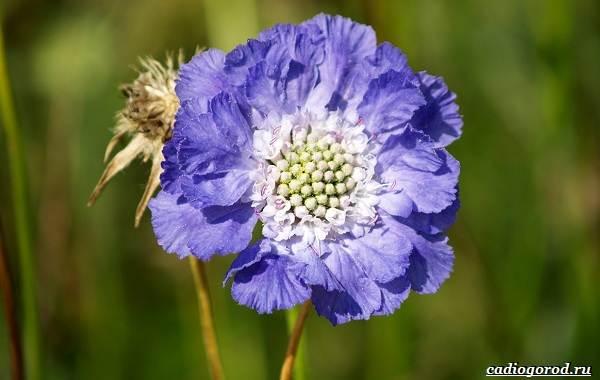 Скабиоза-цветок-Описание-особенности-виды-и-уход-за-скабиозой-20
