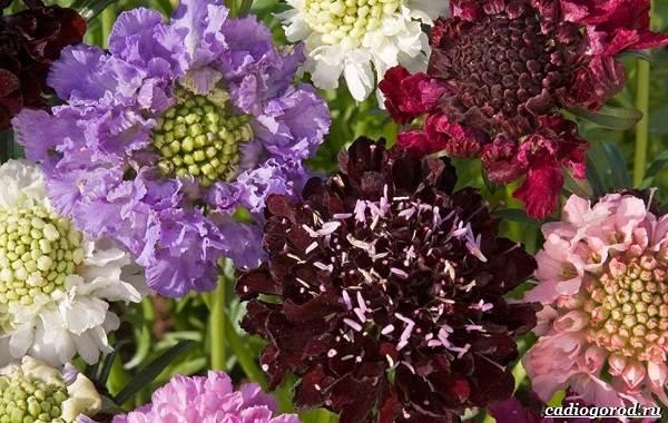 Скабиоза-цветок-Описание-особенности-виды-и-уход-за-скабиозой-21