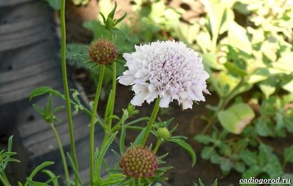 Скабиоза-цветок-Описание-особенности-виды-и-уход-за-скабиозой-22
