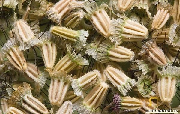 Скабиоза-цветок-Описание-особенности-виды-и-уход-за-скабиозой-23