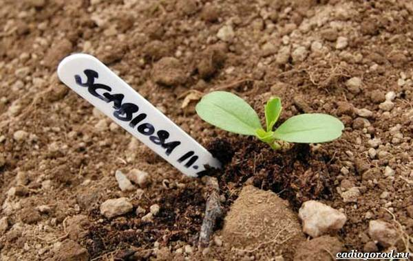 Скабиоза-цветок-Описание-особенности-виды-и-уход-за-скабиозой-24