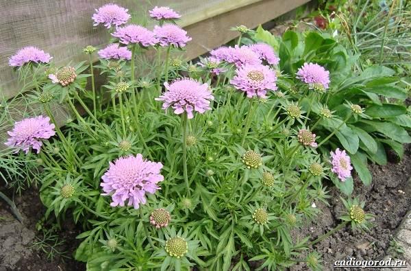 Скабиоза-цветок-Описание-особенности-виды-и-уход-за-скабиозой-25