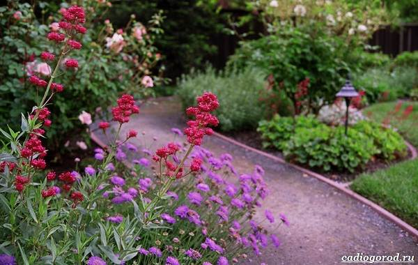 Скабиоза-цветок-Описание-особенности-виды-и-уход-за-скабиозой-26