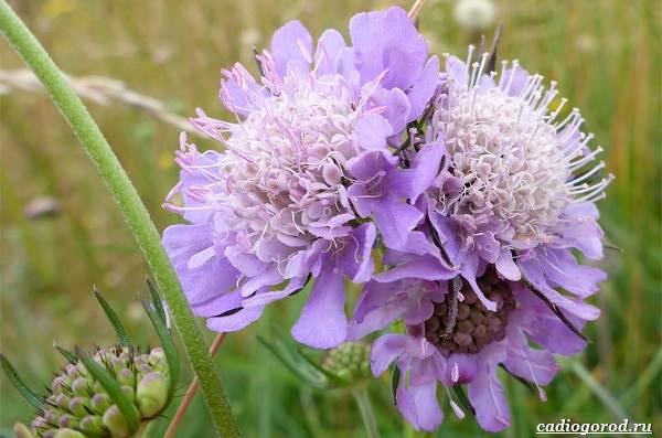 Скабиоза-цветок-Описание-особенности-виды-и-уход-за-скабиозой-27