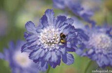Скабиоза цветок. Описание, особенности, виды и уход за скабиозой