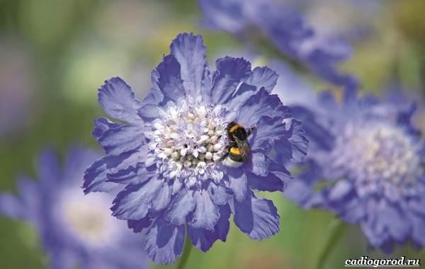 Скабиоза-цветок-Описание-особенности-виды-и-уход-за-скабиозой-28