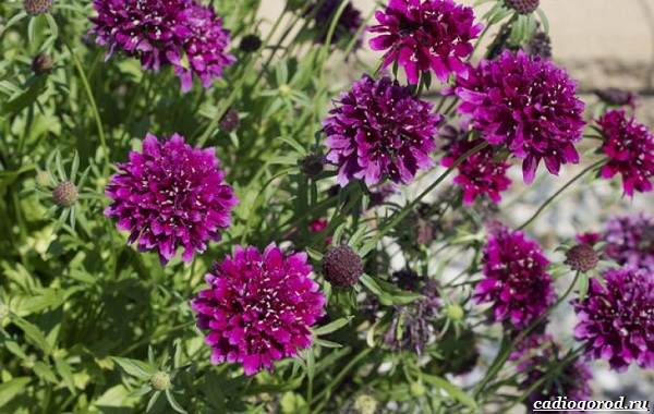 Скабиоза-цветок-Описание-особенности-виды-и-уход-за-скабиозой-30