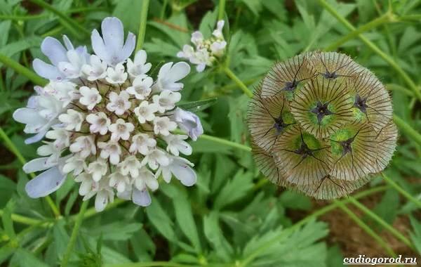 Скабиоза-цветок-Описание-особенности-виды-и-уход-за-скабиозой-31