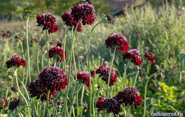 Скабиоза-цветок-Описание-особенности-виды-и-уход-за-скабиозой-32