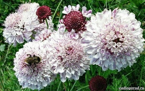 Скабиоза-цветок-Описание-особенности-виды-и-уход-за-скабиозой-34