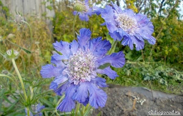 Скабиоза-цветок-Описание-особенности-виды-и-уход-за-скабиозой-35