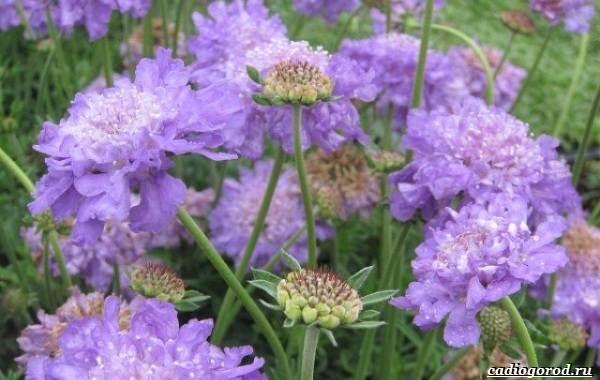 Скабиоза-цветок-Описание-особенности-виды-и-уход-за-скабиозой-36