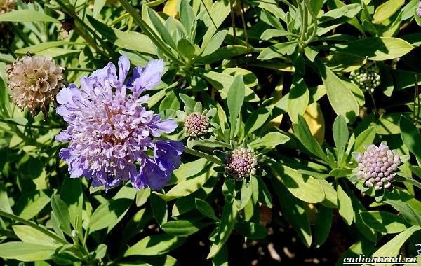 Скабиоза-цветок-Описание-особенности-виды-и-уход-за-скабиозой-38