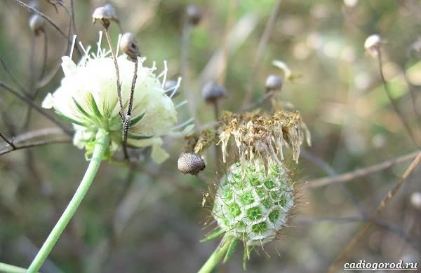 Скабиоза-цветок-Описание-особенности-виды-и-уход-за-скабиозой-39