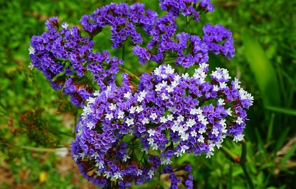 Статица-цветок-Описание-особенности-виды-и-уход-за-статицей-10