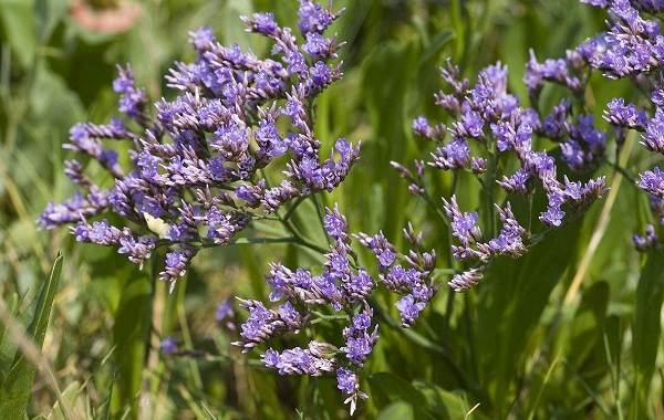 Статица-цветок-Описание-особенности-виды-и-уход-за-статицей-17