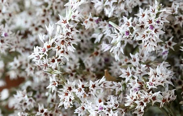 Статица-цветок-Описание-особенности-виды-и-уход-за-статицей-20