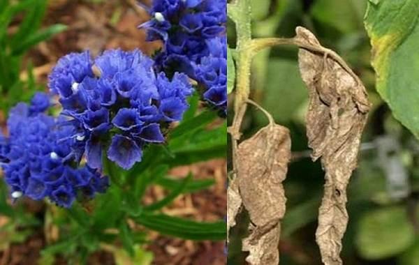 Статица-цветок-Описание-особенности-виды-и-уход-за-статицей-21