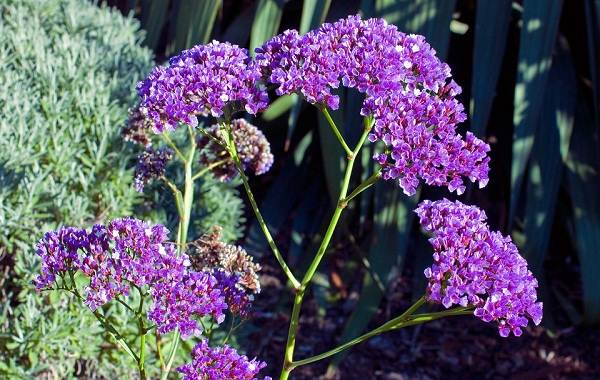 Статица-цветок-Описание-особенности-виды-и-уход-за-статицей-22