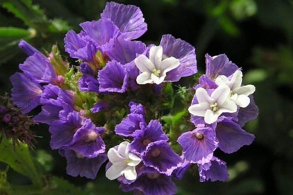 Статица-цветок-Описание-особенности-виды-и-уход-за-статицей-24