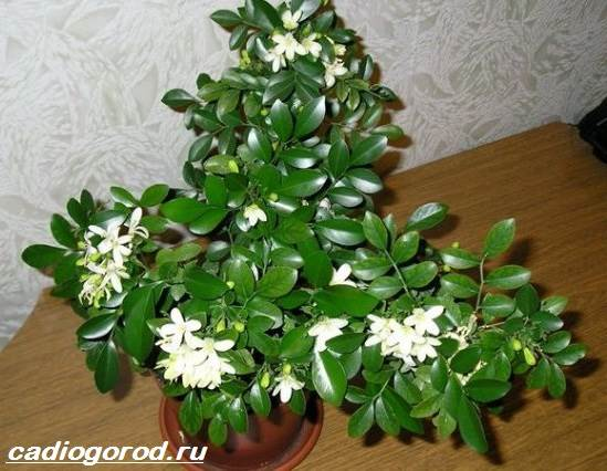 Стефанотис-цветок-Описание-особенности-виды-и-уход-за-стефанотисом-10