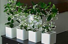 Стефанотис цветок. Описание, особенности, виды и уход за стефанотисом