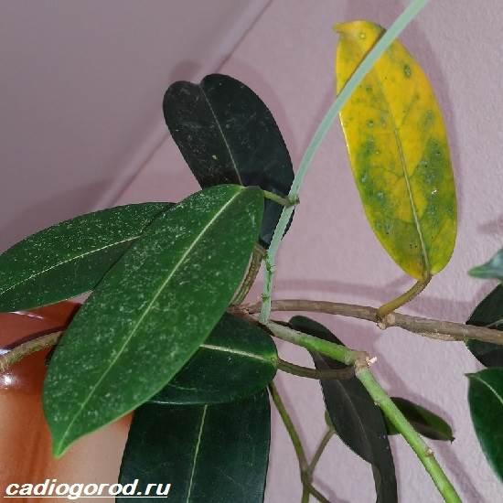 Стефанотис-цветок-Описание-особенности-виды-и-уход-за-стефанотисом-5