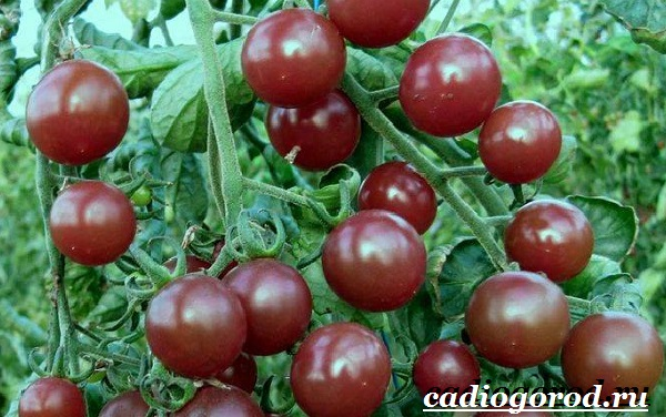 Томаты черри. Описание, особенности, выращивание и сорта томатов черри-1