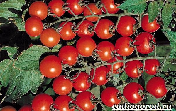 Томаты черри. Описание, особенности, выращивание и сорта томатов черри-14