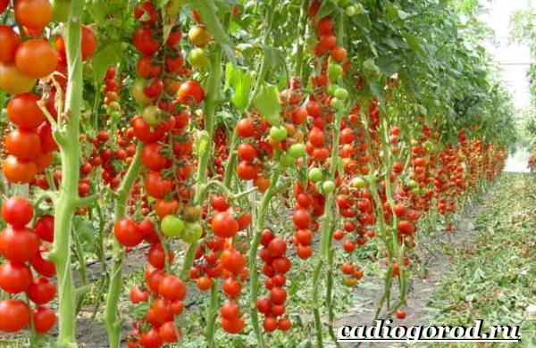 Томаты черри. Описание, особенности, выращивание и сорта томатов черри-15
