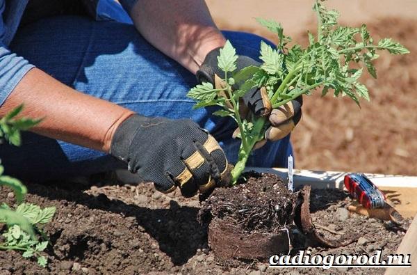 Томаты черри. Описание, особенности, выращивание и сорта томатов черри-26