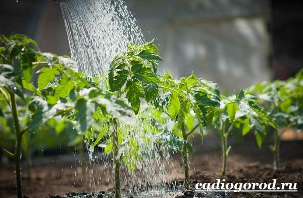 Томаты черри. Описание, особенности, выращивание и сорта томатов черри-27
