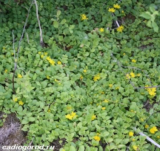 Вербейник-растение-Описание-особенности-виды-и-уход-за-вербейником-11