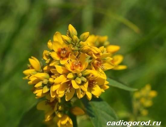 Вербейник-растение-Описание-особенности-виды-и-уход-за-вербейником-2