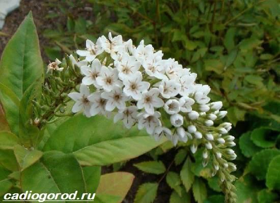 Вербейник-растение-Описание-особенности-виды-и-уход-за-вербейником-3
