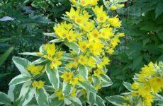 Вербейник растение. Описание, особенности, виды и уход за вербейником