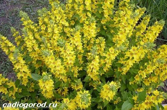 Вербейник-растение-Описание-особенности-виды-и-уход-за-вербейником-7