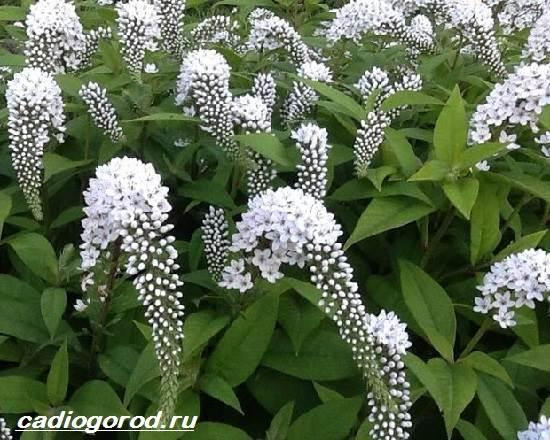 Вербейник-растение-Описание-особенности-виды-и-уход-за-вербейником-8