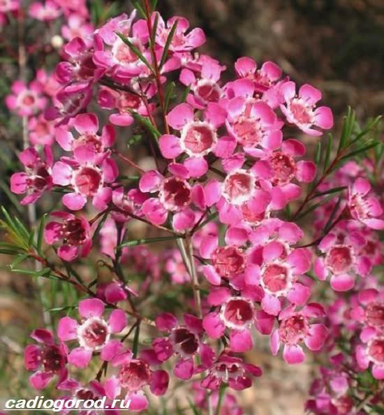 Хамелациум-цветок-Описание-особенности-виды-и-уход-за-хамелациумом-2