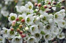 Хамелациум цветок. Описание, особенности, виды и уход за хамелациумом