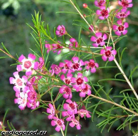 Хамелациум-цветок-Описание-особенности-виды-и-уход-за-хамелациумом-4