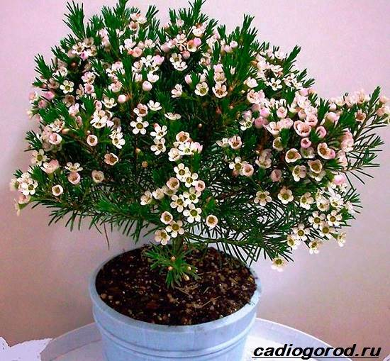 Хамелациум-цветок-Описание-особенности-виды-и-уход-за-хамелациумом-9