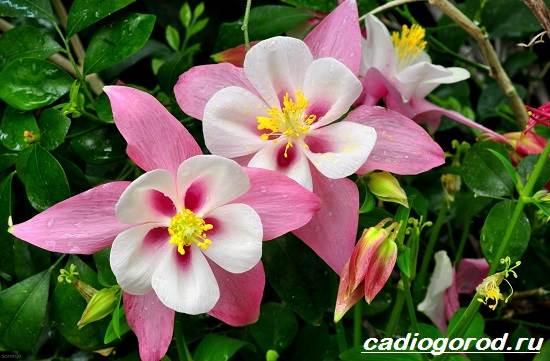 Аквилегия-цветок-Описание-особенности-виды-и-уход-за-аквилегией-1