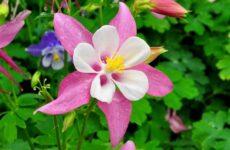 Аквилегия цветок. Описание, особенности, виды и уход за аквилегией