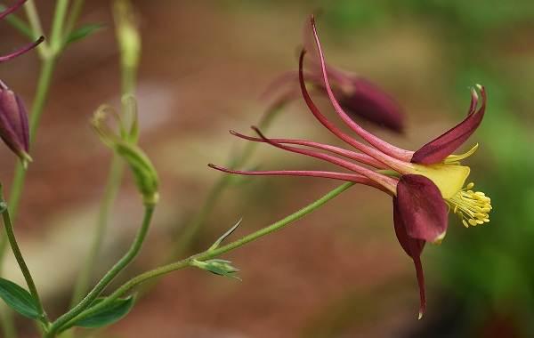 Аквилегия-цветок-Описание-особенности-виды-и-уход-за-аквилегией-32